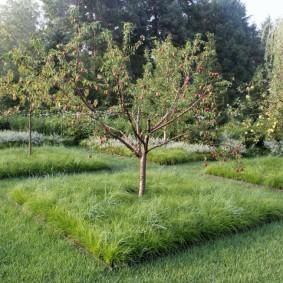 Сидератные растения в приствольном круге яблони