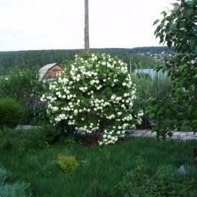 Цветущий куст декоративной калины