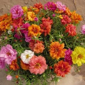 Махровые цветки портулака разнообразного окраса