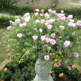 Бело-сиреневые цветки садового портулака