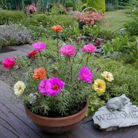Крупноцветковый портулак в глиняном горшке