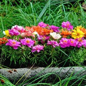 Бетонный вазон с цветущим портулаком
