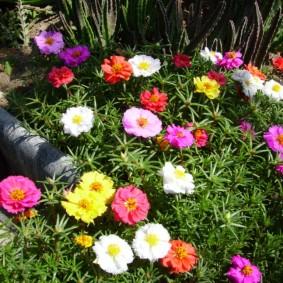 Крупные цветки разного тона на кусте портулака