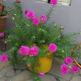 Розовые махровые цветки декоративного портулака