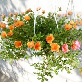 Оранжевые цветки на стеблях портулака