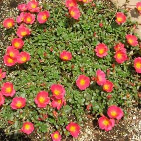 Розово-желтые цветки среднего размера