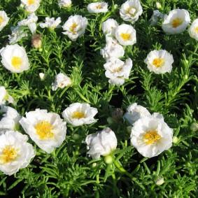 Бело-желтые цветки на клумбе в огороде