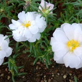 Крупные махровые цветки с желтой сердцевиной