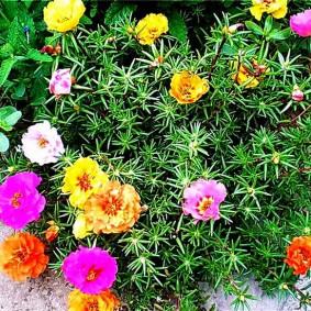 Разнообразная окраска цветков садового портулака