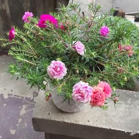 Розовые цветки с махровыми бутонами