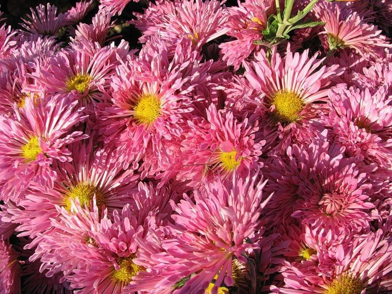 Розовые цветки хризантемы сорта Аленушка