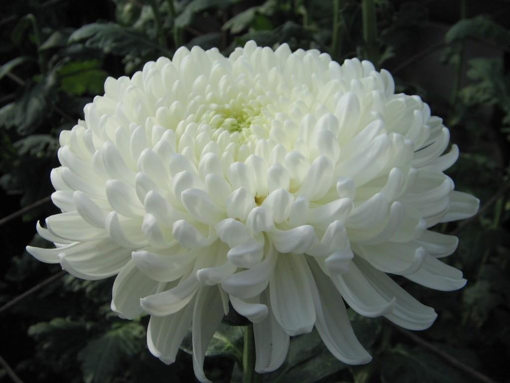 Белый цветок хризантемы отечественного сорта Анита