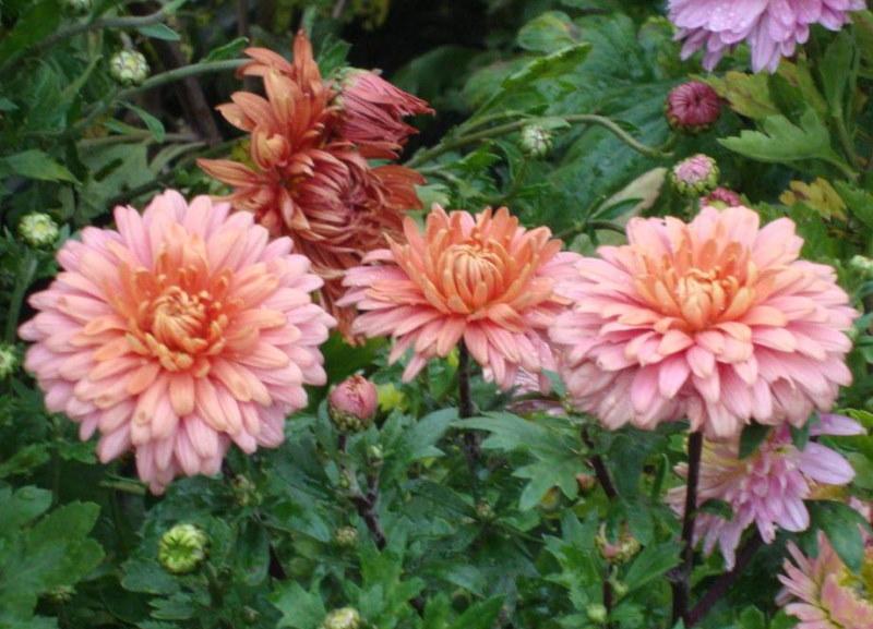 Корейская хризантема сорта Бархан в середине осени