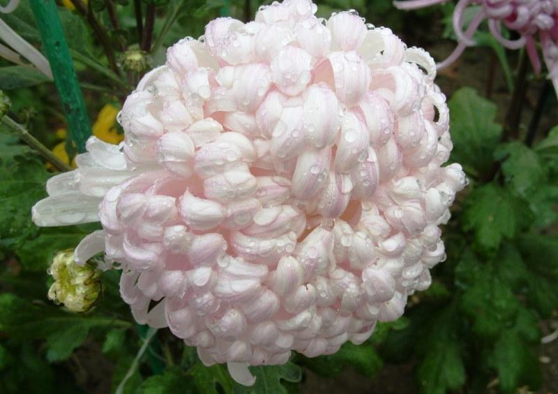 Фото хризантемы сорта Белый феникс