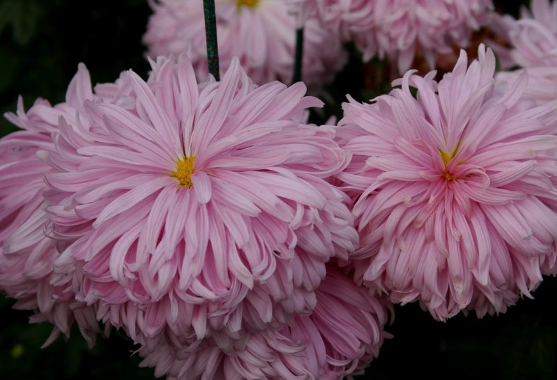 Круноцветковая хризантема сорта Лепестковый дождь