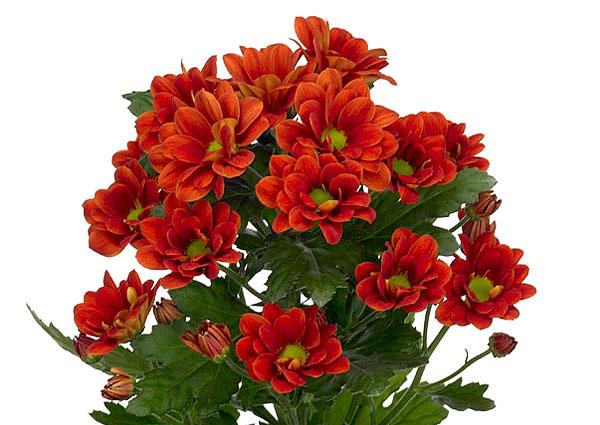 Красные цветки хризантемы сорта Манагуа