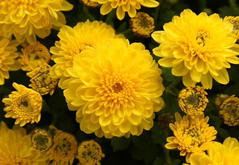 Желтые соцветия на корейской хризантеме сорта Мишель