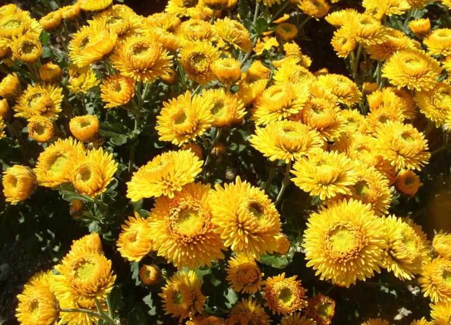 Обильное цветение хризантемы сорта Наташа
