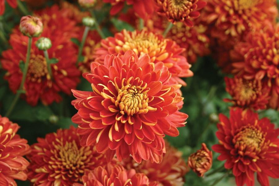 Красно-бардовые цветки хризантемы сорта Регалия