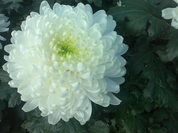 Крупный цветок хризантемы сорта Резолют