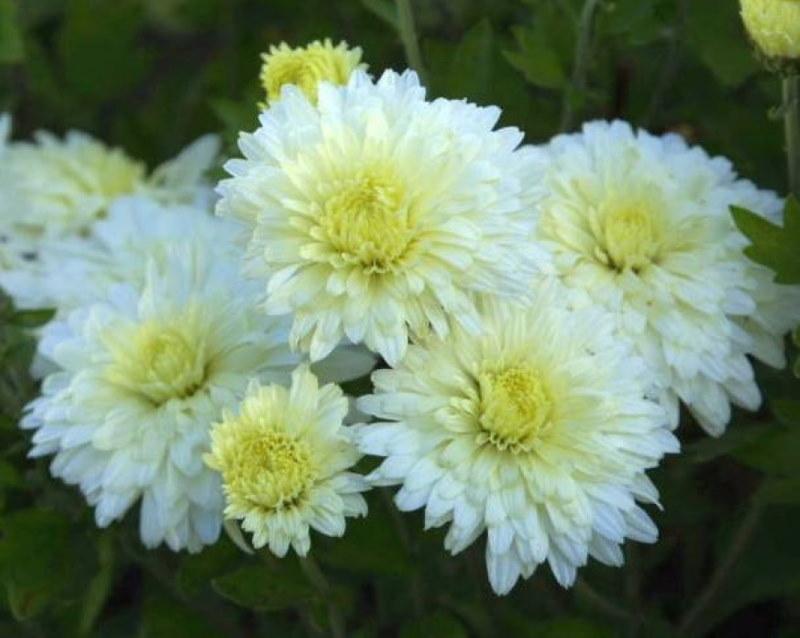 Махровые цветки хризантемы сорта Снежок