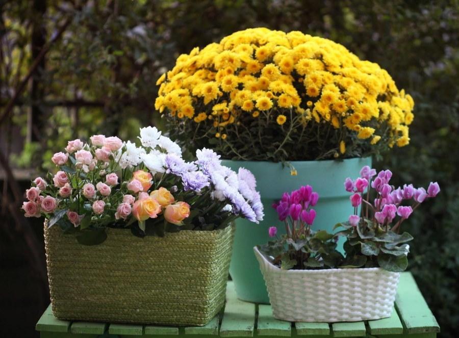 Гибридные хризантемы в контейнерах разной формы