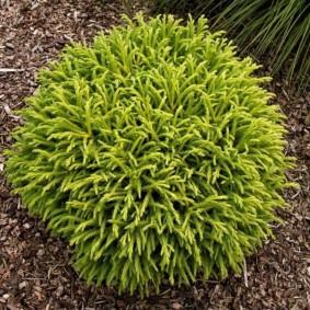 хвойные растения для сада идеи дизайна