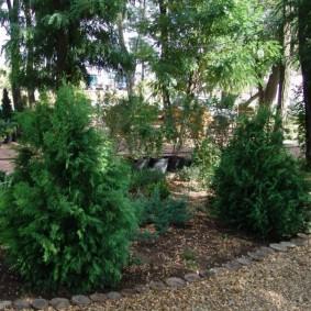 хвойные растения для сада декор