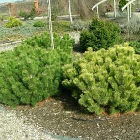 хвойные растения для сада фото декора