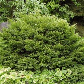 хвойные растения для сада оформление