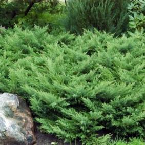 хвойные растения для сада оформление фото
