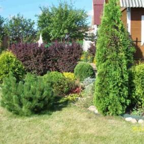 хвойные растения для сада фото оформление
