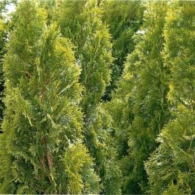 хвойные растения для сада фото оформления