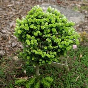 хвойные растения для сада идеи оформление