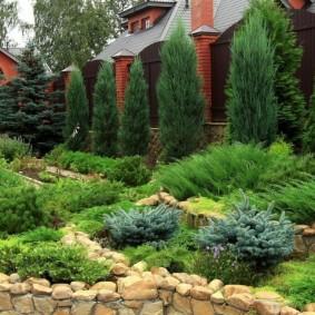 хвойные растения для сада фото вариантов