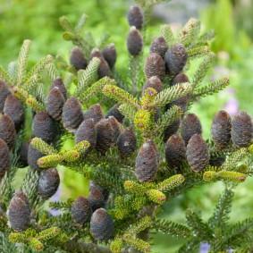 хвойные растения для сада виды фото