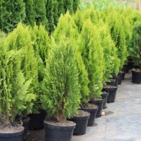 хвойные растения для сада варианты дизайна