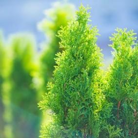 хвойные растения для сада посадка