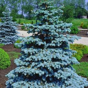 хвойные растения для сада фото идеи