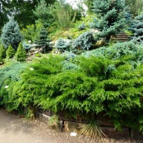 хвойные растения для сада дизайн