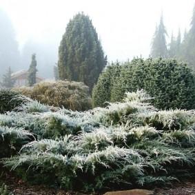 хвойные растения для сада дизайн фото