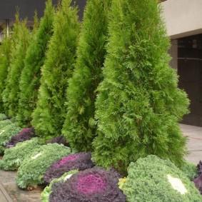 хвойные растения для сада фото дизайн