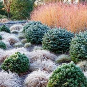 хвойные растения в саду фото
