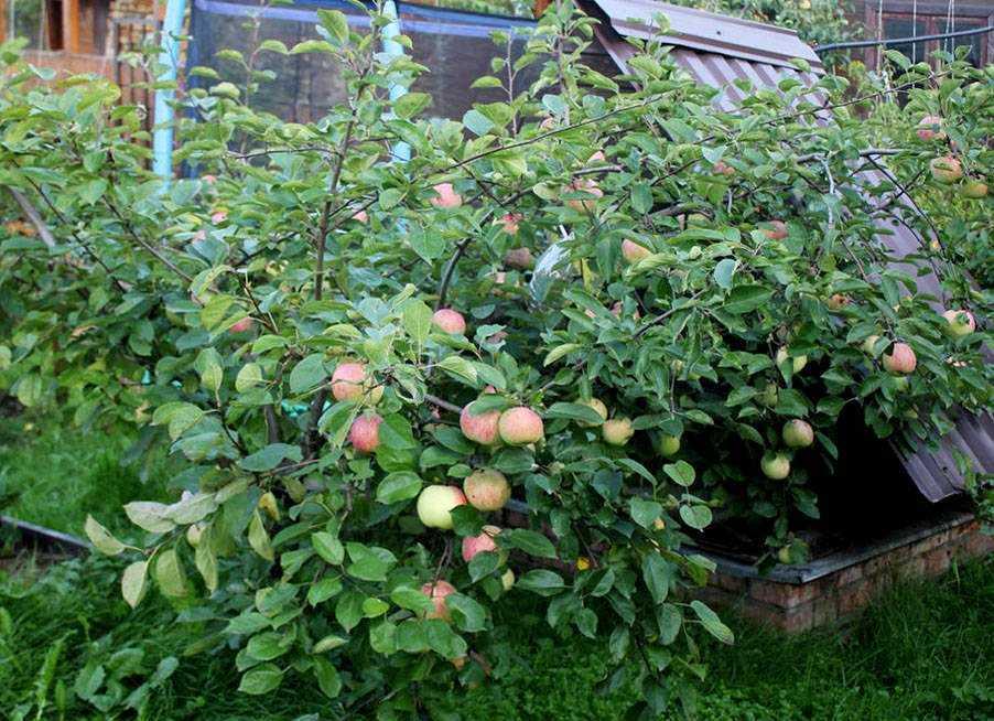 Созревание плодов на карликовой яблоне