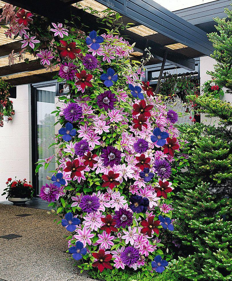 Цветущие клематисы на перголе около загородного дома