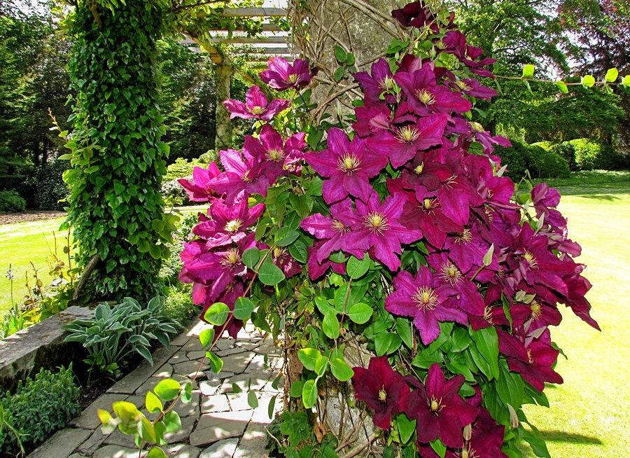 Крупные цветки клематиса на перголе вдоль дорожки