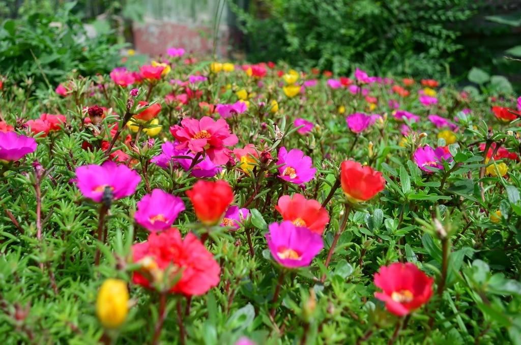 Лужайка в саду в цветущим портулаком