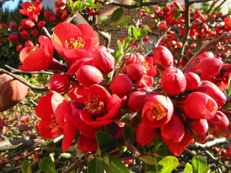 Ярко-розовые соцветия с желтыми тычинками