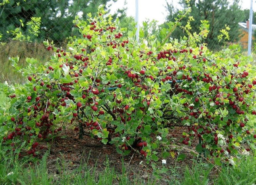 Созревание ягод на кустике крыжовника