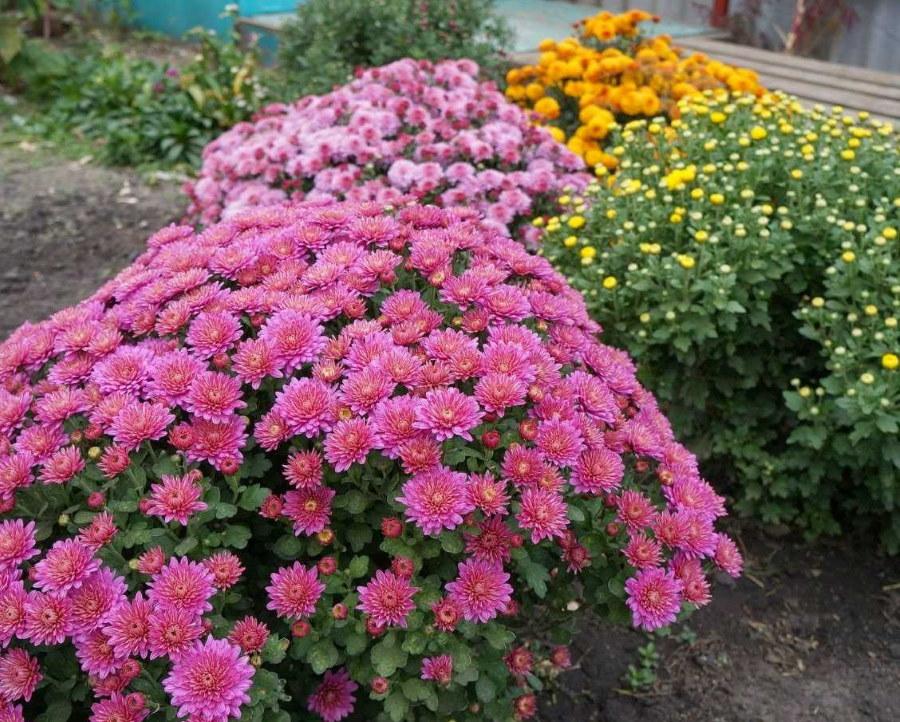 Кустики цветущих хризантем на дачном участке